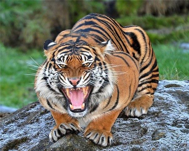 Самые красивые тигра