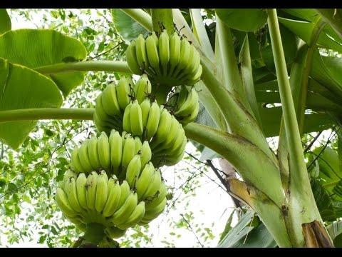 бананы как они растут