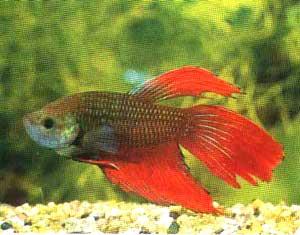 Аквариумные рыбки петушки стали чрезвычайно известны среди аквариумистов благодаря своим